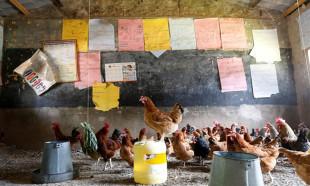 Kenya'da sınıfları tavuklar doldurdu