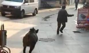 Beykozda domuz vatandaşı kovaladı
