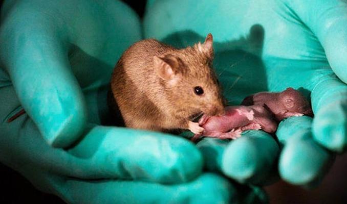İki dişi fareden erkeksiz yavru dünyaya getirdiler