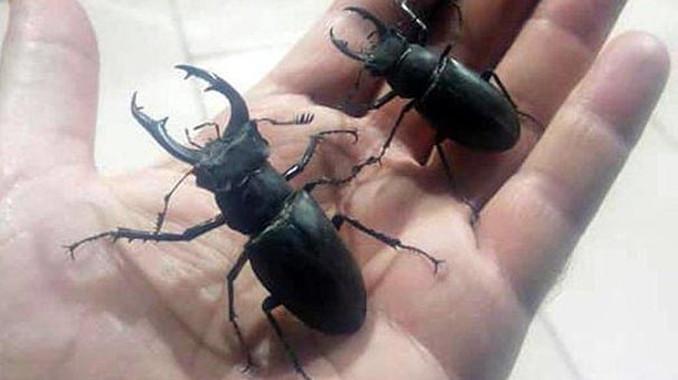 Japonlar sadece Türkiye'de yetişen bu böceğin peşinde