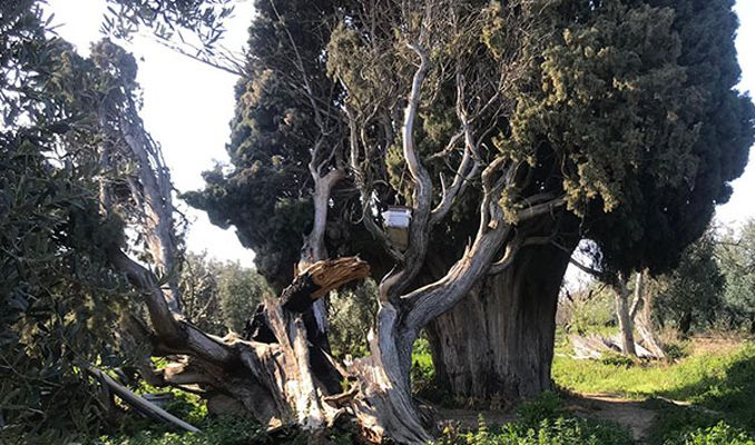 700 yıllık anıt ağaç yakıldı, dalları kesildi
