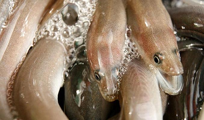 İki elektrikli yılan balığı türü keşfedildi