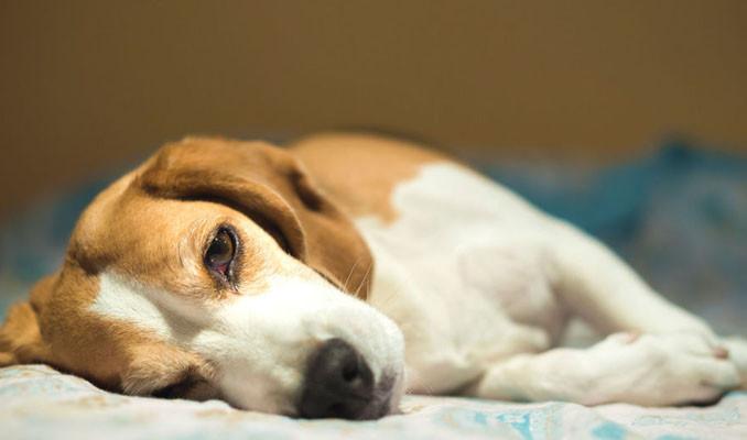Norveç'te onlarca köpeğin ölümüne neden olan esrarengiz hastalık