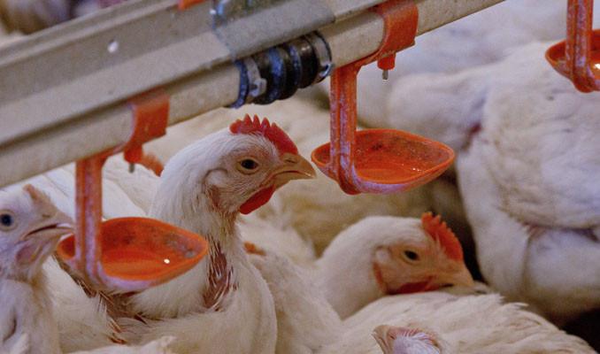 Çin'e 'tavuk ayağı' ihracatı