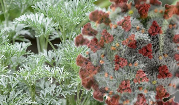 Madagaskar'da geliştirilen bitkisel korona ilacı bugün tanıtılacak