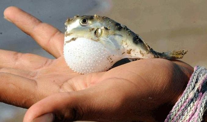 Lara sahilinde zehirli balon balığı sürüsü