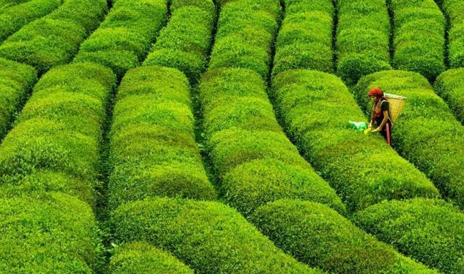 Doğu Karadeniz'de yaş çay hasadında geri sayım