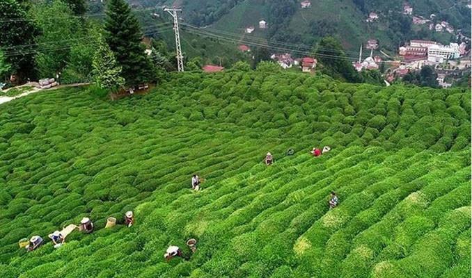 Çay ihracatından 5 ayda 8,5 milyon dolar gelir sağlandı