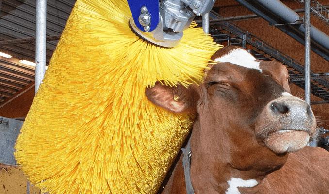 Bilim insanlarından ineklere tuvalet eğitimi