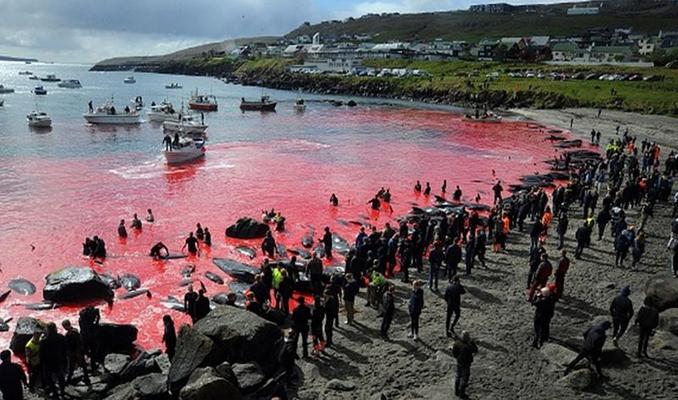 Faroe Adaları'nda kanlı av: 1400'den fazla yunus bir gecede katledildi