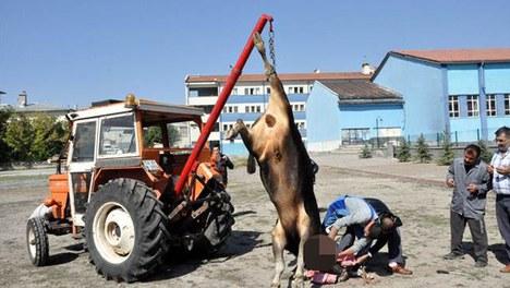 Kesilen boğa traktör vincinde taşındı